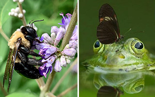 Close up of a bee pollinating a flower and also a close up of a frog in water with a butterfly sitting on the frog's head
